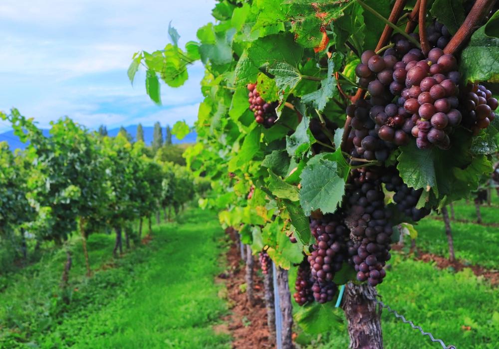 Die Weinlese ist in vollem Gange. Dabei werden Top-Qualitäten erwartet. Foto: Pixabay