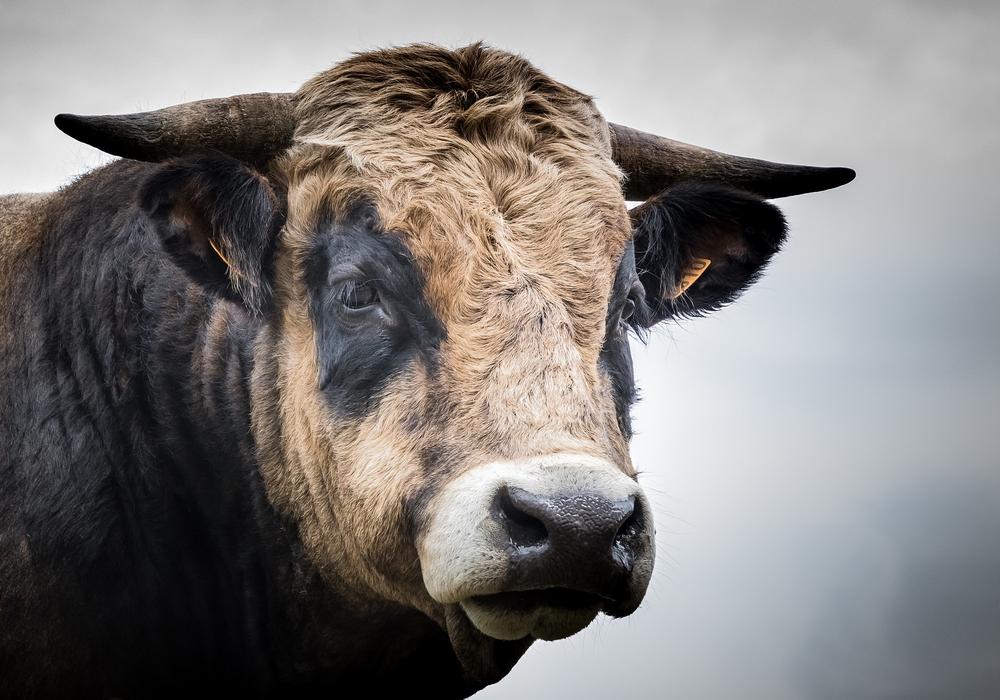 Der Lebensmittelhandel wirbt für hochwertige Herkünfte und hat Rindfleisch damit ein positives Image gegeben. Davon profitieren in erster Linie ausländische Rindermäster. Foto: Pixabay
