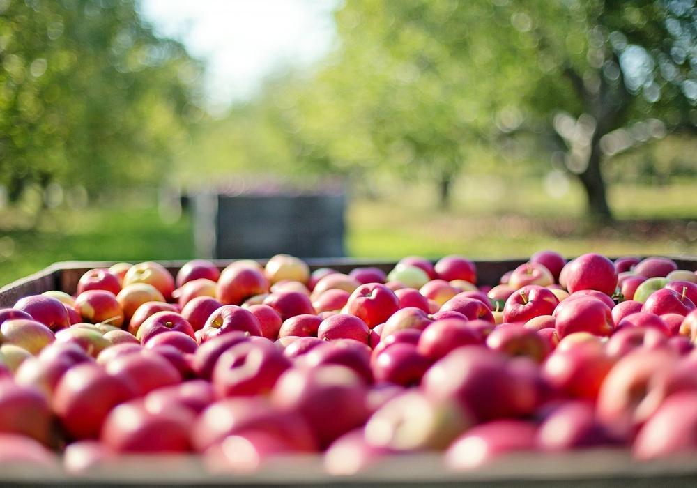 Die Apfelernte in unserer Region ist in vollem Gange. Foto: Pixabay