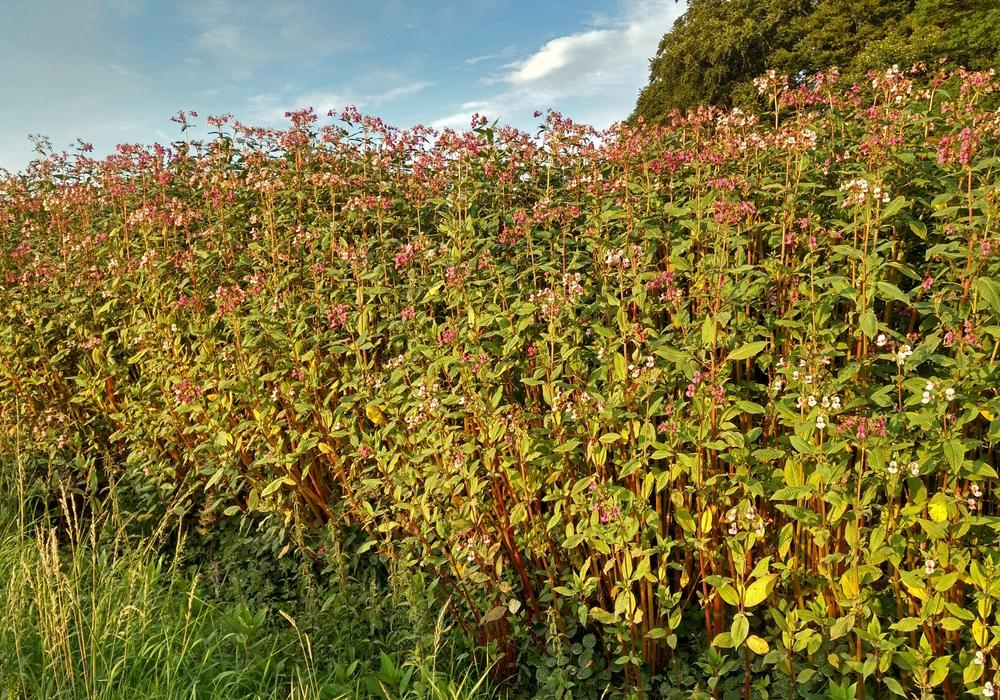 Das Drüsige Springkraut ist wegen seiner Fähigkeit zur raschen Verbreitung eine  problematische Pflanze. Foto: Nationalpark Harz/Jens Hundertmark