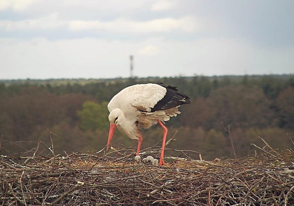 Ein Storch mit seiner Aufzucht. Foto: Bärbel-Rogoschik