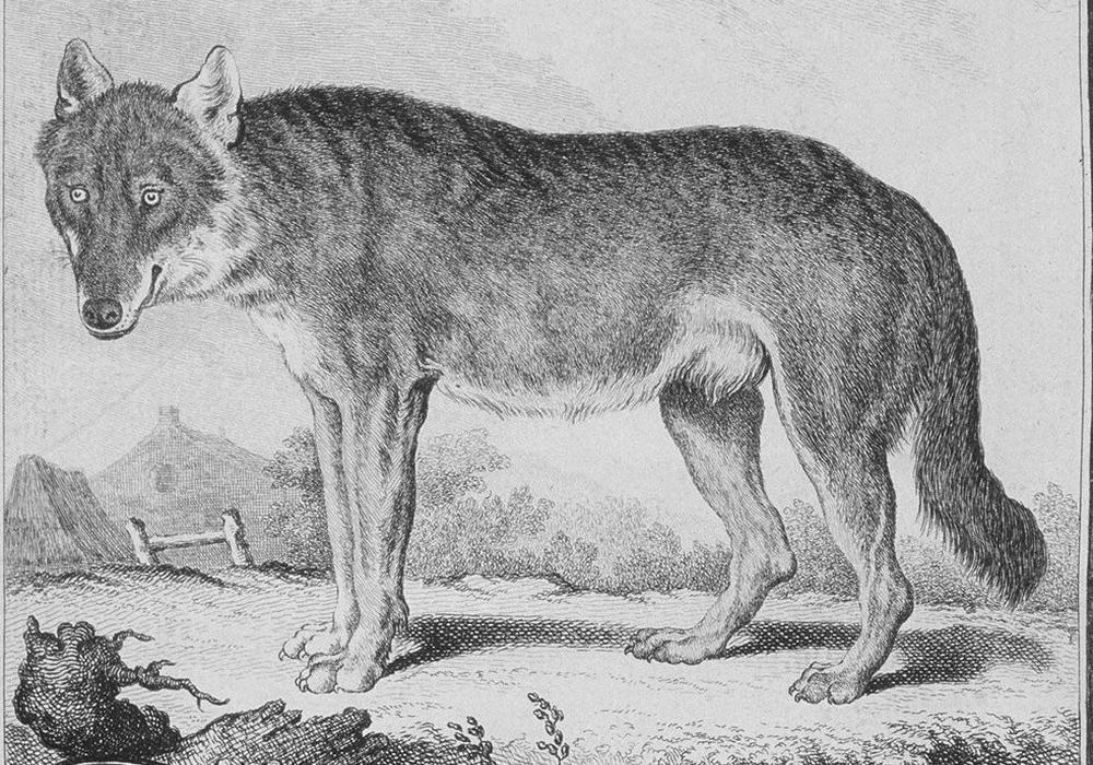Der Wolf in der Naturgeschichte des 18. Jahrhunderts, aus: George Louis Leclerc de Buffon: Histoire naturelle 1749ff. Quelle: Herzog August Bibliothek