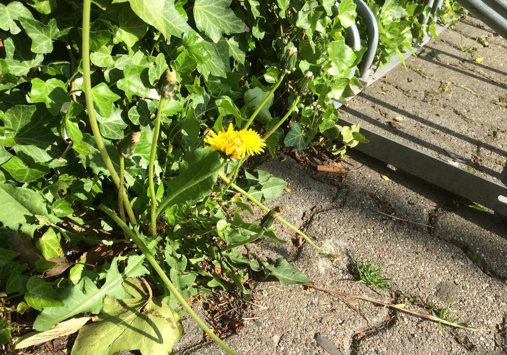 Dem Unkraut soll es in Braunschweig künftig ohne Herbizide an den Kragen gehen. Symbolfoto: Anke Donner