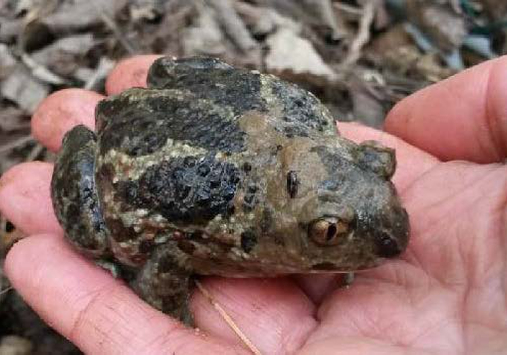 """Nur diese eine Knoblauchkröte wurde auf dem Baugelände """"Holzmoor Nord"""" gefunden. Foto: Borek Immobilien GmbH"""