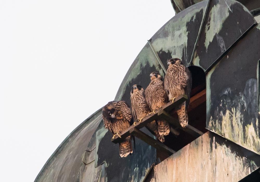 Vier junge Wanderfalken bewohnen derzeit die Hauptkirche. Fotos: Michael Klatt