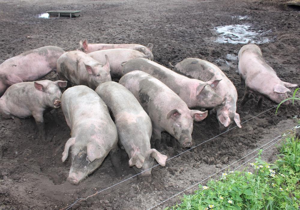 Schweine in Freilandhaltung sind besonders gefährdet. Symbolfoto: Jan Weber