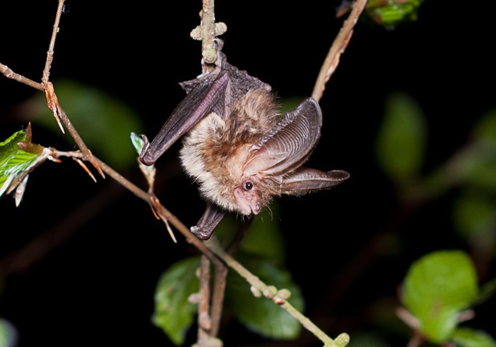 """Der Vortrag """"Fledermäuse – Jäger der Nacht"""" findet am Freitag, den 11. März um 19:30 Uhr im Nationalparkhaus Sankt Andreasberg statt. Foto: Marco König"""