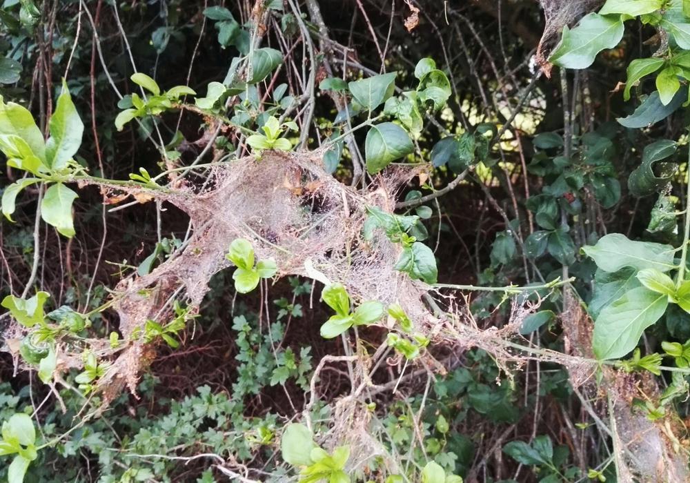 Die Netze der Gespinstmotten ähneln jenen der Eichenprozessionsspinner, Ihre Verursacher sind aber für Mensch und Tier keine Bedrohung. Foto: B.I.G. Sassenburg