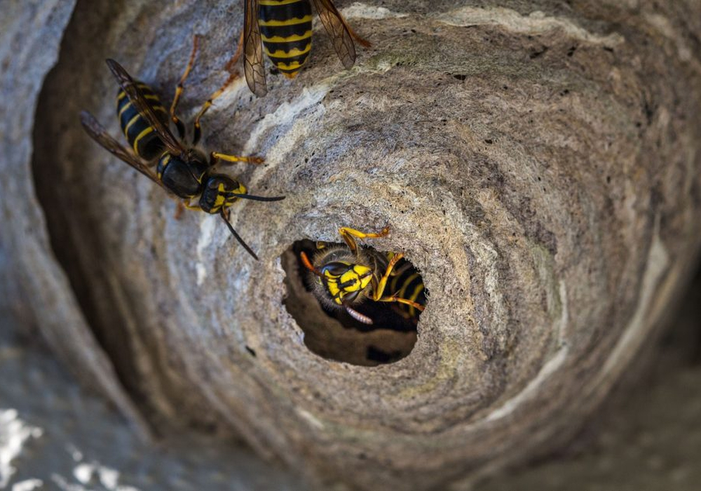 Das Gemeinschaftshaus Mascherode ist von Wespen befallen. Symbolbild: pixabay