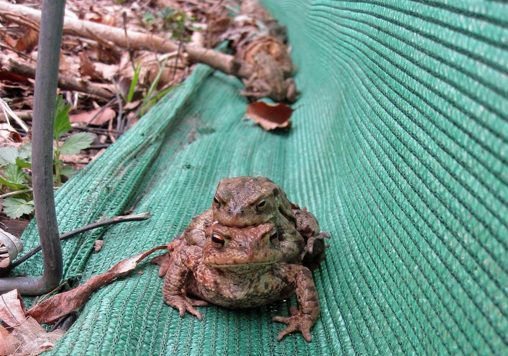 Bei der Abendexkursion des NABUs können mit etwas Glück auch seltene Amphibien beobachtet werden. Foto: Andrea Onkes