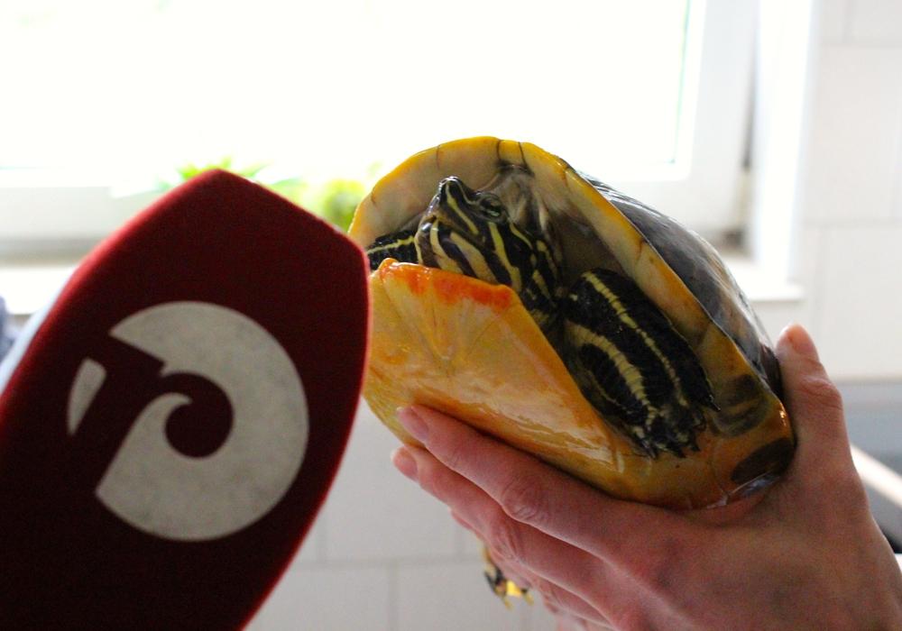 Naturschützer und Tierheime sind alarmiert – in den vergangenen Jahren werden immer mehr Wasserschildkröten ausgesetzt. Nicht nur für die Tiere selbst ein meist tödliches Urteil, auch heimische Tierarten leiden unter dem Verhalten der einstigen Besitzer.  Foto: Sina Rühland