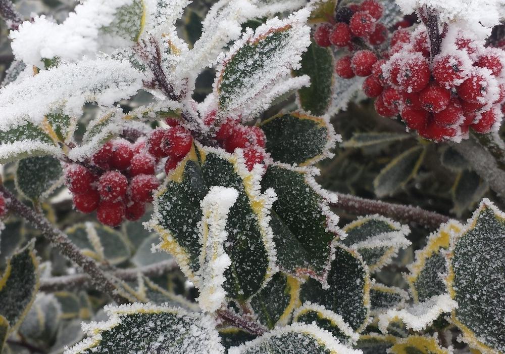 Beeren im Winterschlaf. Foto: Julia Buchholz