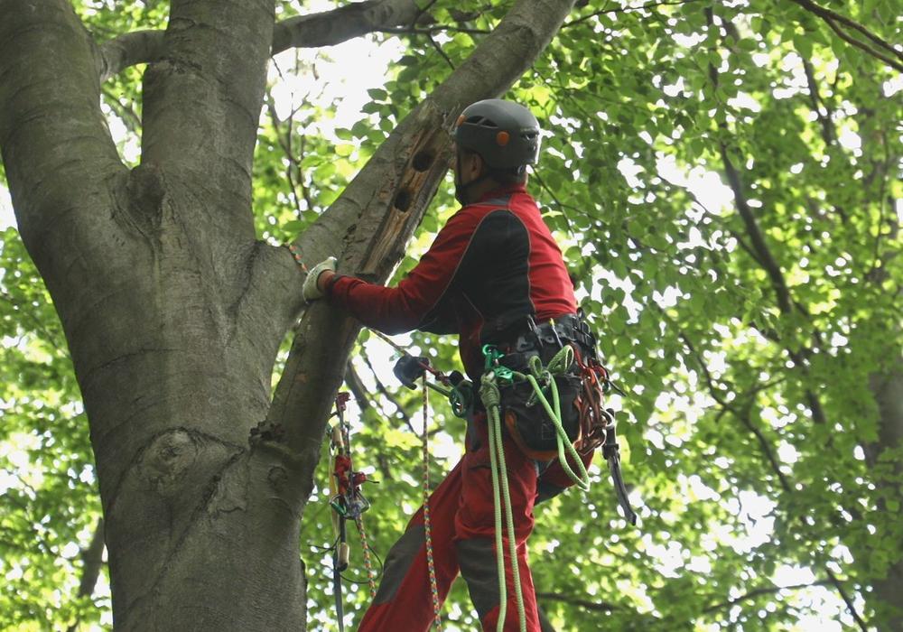 Die Helfer suchten nach kleinen Löchern in den Bäumen, in denen sich die Tiere aufhalten konnten. Foto: Rudolf Karliczek