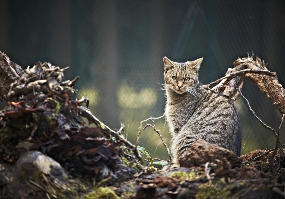 Auf Tuchfühlung mit den Wildkatzen im Harz. Foto: NABU