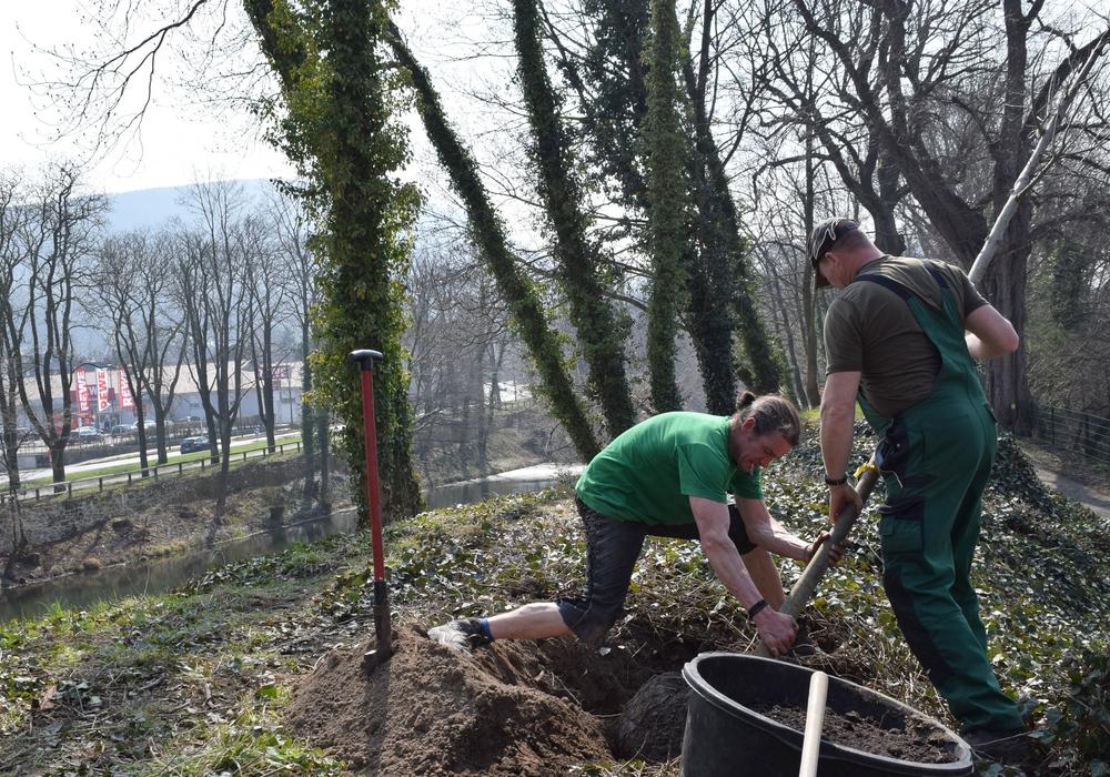 Wo vor einen halben Jahrhundert eine imposante Ulmengruppe stand, werden zwei junge Bäume als ihre Nachfolger gepflanzt. Foto: Stadt Goslar