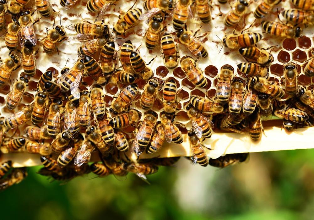 Bienen sind durch die Tierseuche bedroht. Symbolbild: pixabay
