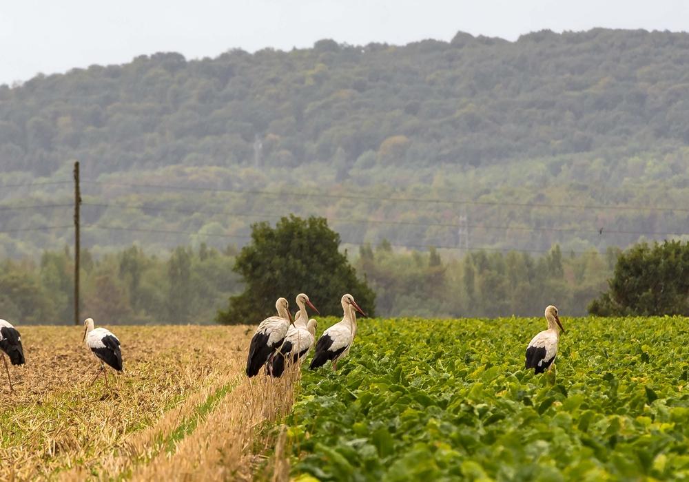 Niedersachsen weist den höchsten Storchenbestand seit 60 Jahren auf. Symbolfoto: Rudolf Karliczek