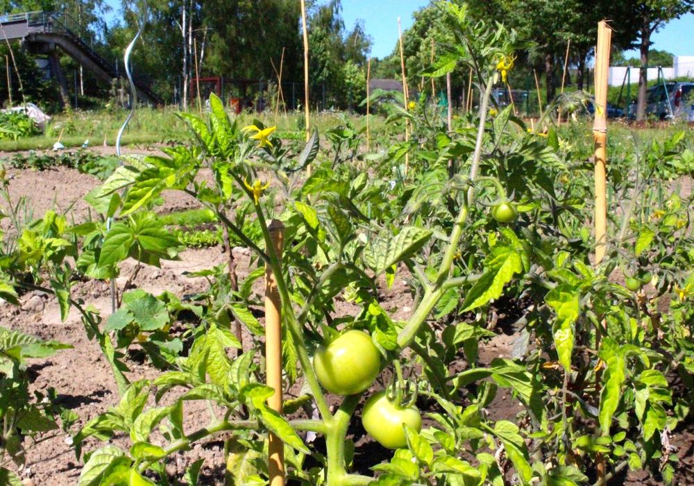 Gibt es in der Stadt bald Obst und Gemüse zum Ernten? Vielleicht wären kleine Tomaten eine Option? Foto: Archiv