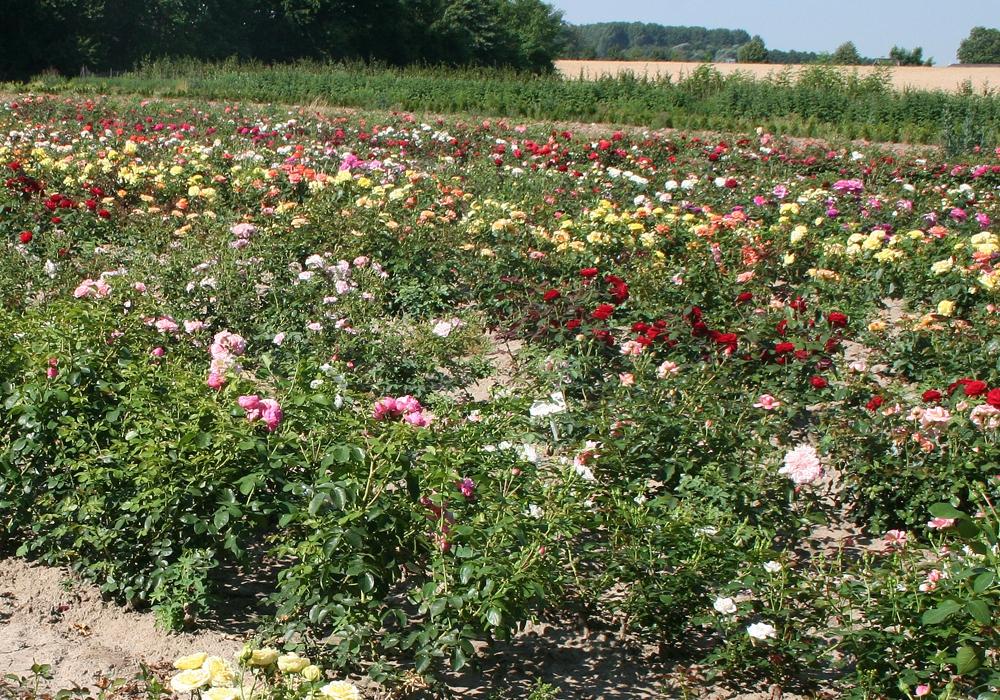 Es muss ja nicht gleich ein ganzes Rosenfeld sein. Symbolfoto: Archiv