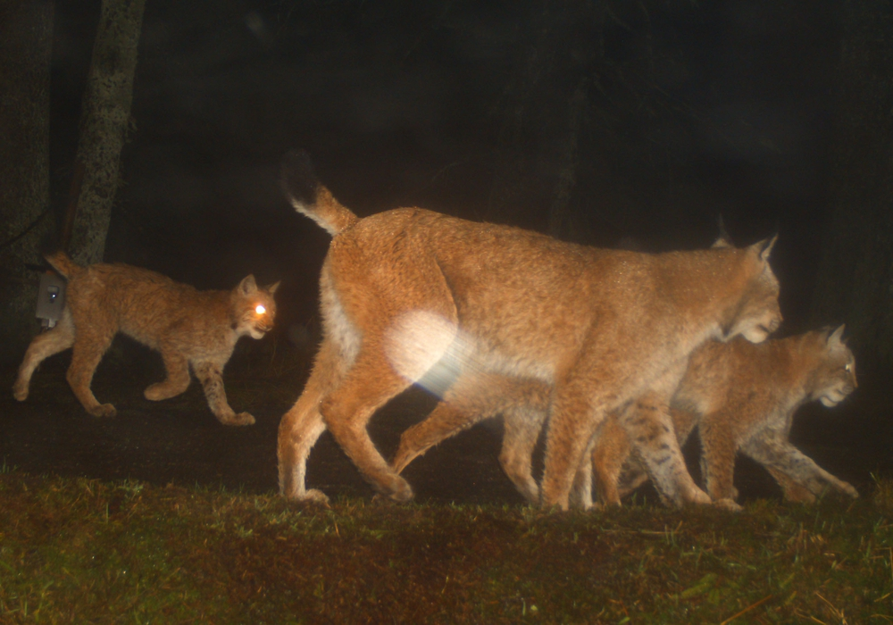 Es kam zu reichlich Sichtungen im ganzen Harz. Fotos: Naturpark Harz