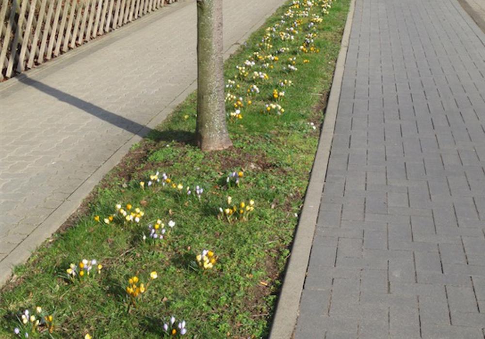 Für das Pflanzen der Krokusse werden in Werlaburgdorf noch helfende Hände gesucht. Foto: Archiv