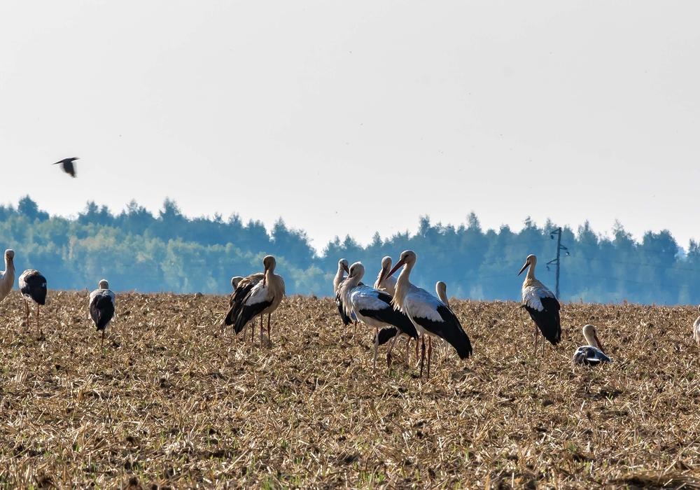 Auf den Feldern an der Mülldeponie tummeln sich die Störche. Fotos: Rudolf Karliczek