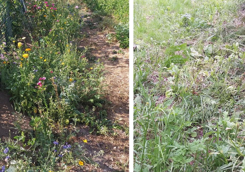 Ein Vorher-/Nachher-Vergleich des Blühstreifens am Monplaisir soll den Mäheinsatz dokumentieren. Foto: Manfred Wolfrum