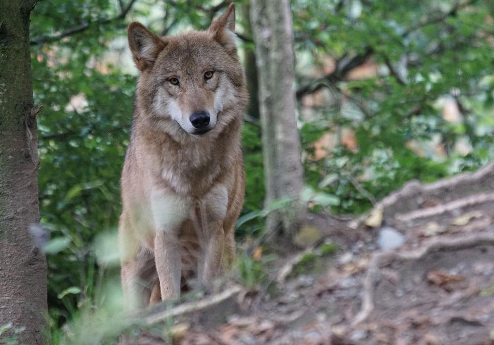 Etliche Tiere verletzt oder getötet - Frisst sich der Wolf durch Peine?