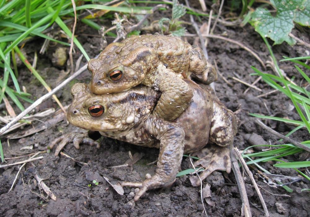 Erdkrötenpärchen. Foto: Andrea Onkes