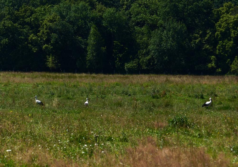 Die vier kleinen Störche, die Mitte Mai dieses Jahres auf dem Nest in der Weddeler Grabenniederung im Naturschutzgebiet Riddagshausen geschlüpft waren, sind ausgewachsen und flügge. Foto: Stadt Braunschweig