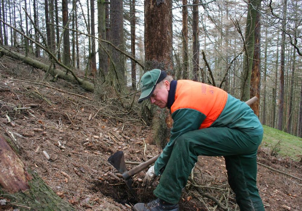 Nationalpark-Forstwirt Klaus-Dieter Kahn bei der Buchenpflanzung im Eckertal. Foto: Privat