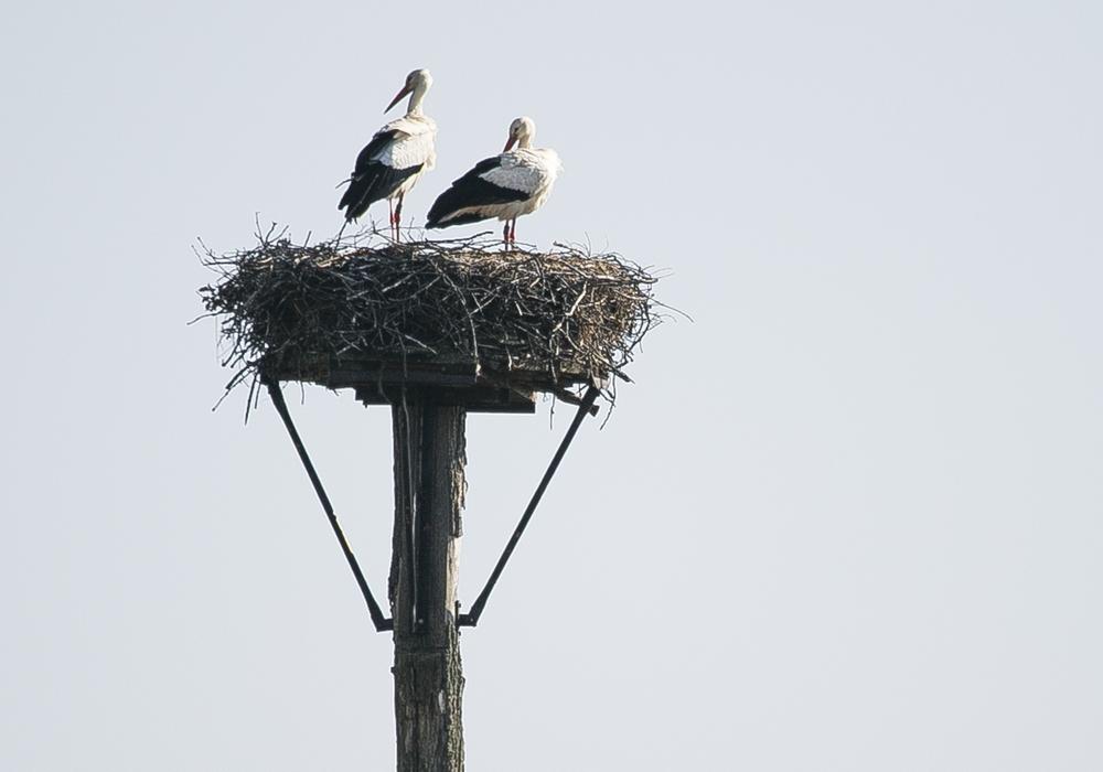 Das Storchenpaar in der Weddeler Grabenniederung im Naturschutzgebiet Riddagshausen. Foto: Stadt Braunschweig/Daniela Nielsen