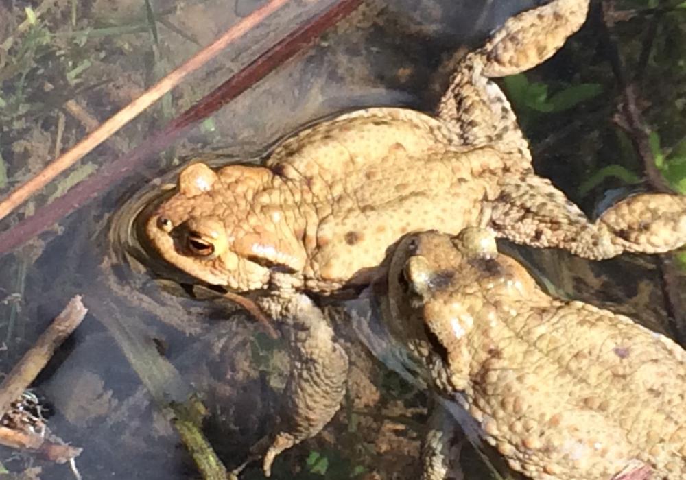 Amphibien brauchen bei ihren Wanderungen menschliche Unterstützung. Foto: Rainer Schlicht