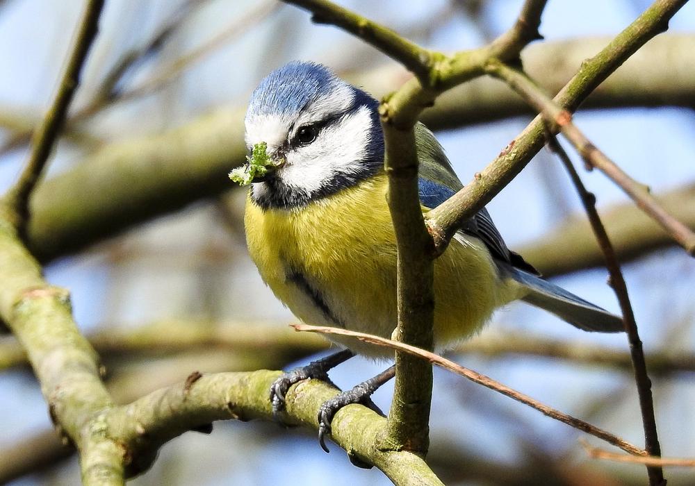 In einem Vogelvortrag wird es auch um die Blaumeise gehen. Foto: NABU/Kathy Büscher