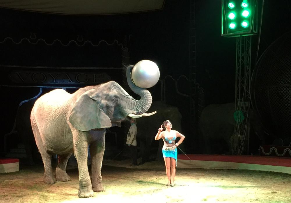 Ein afrikanischer Elefant im Circus Voyage. Die Organisation PETA spricht sich gegen Wildtiere im Zirkus aus. Foto: Circus Voyage