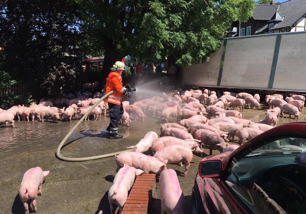 An Bord des Fahrzeugs rund 600 Schweine, die sich umgehend auf die Erkundung der Umgebung machten. Foto: aktuell24 (BM)