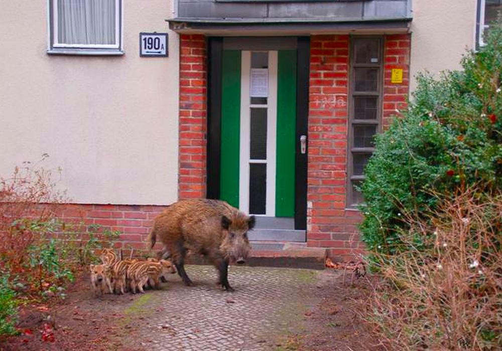 Die Wildschwein-Plage, die schon seit einigen Monaten den Bewohnern im Harz zu schaffen macht, hat nun auch den Landkreis Goslar erreicht. Symbolfoto: Berliner Forsten