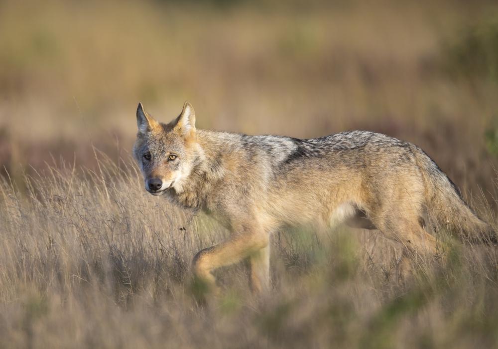 Zahlreiche Informationen rund um den Wolf gibt es ab 6. November in der Stadtbibliothek Lebenstedt zu sehen. Foto: Jürgen Borris