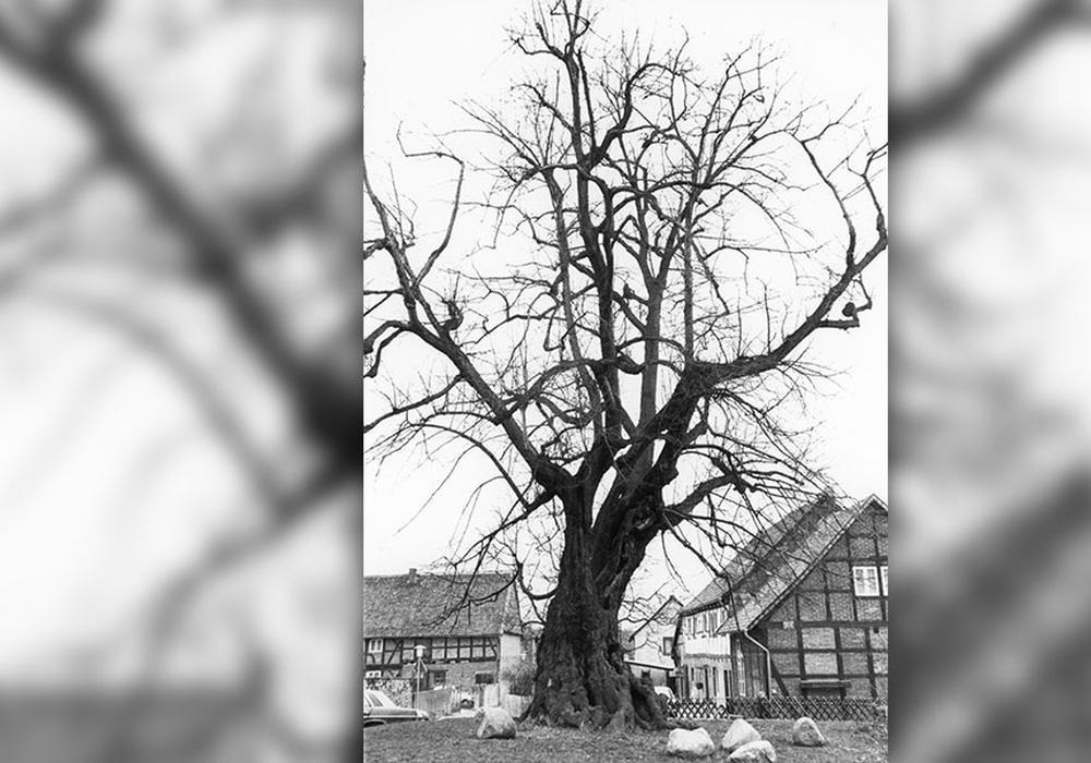 """Das im Volksmund """"Pestlinde"""" genannte Naturdenkmal in Lichtenberg. Foto: Stadtarchiv"""