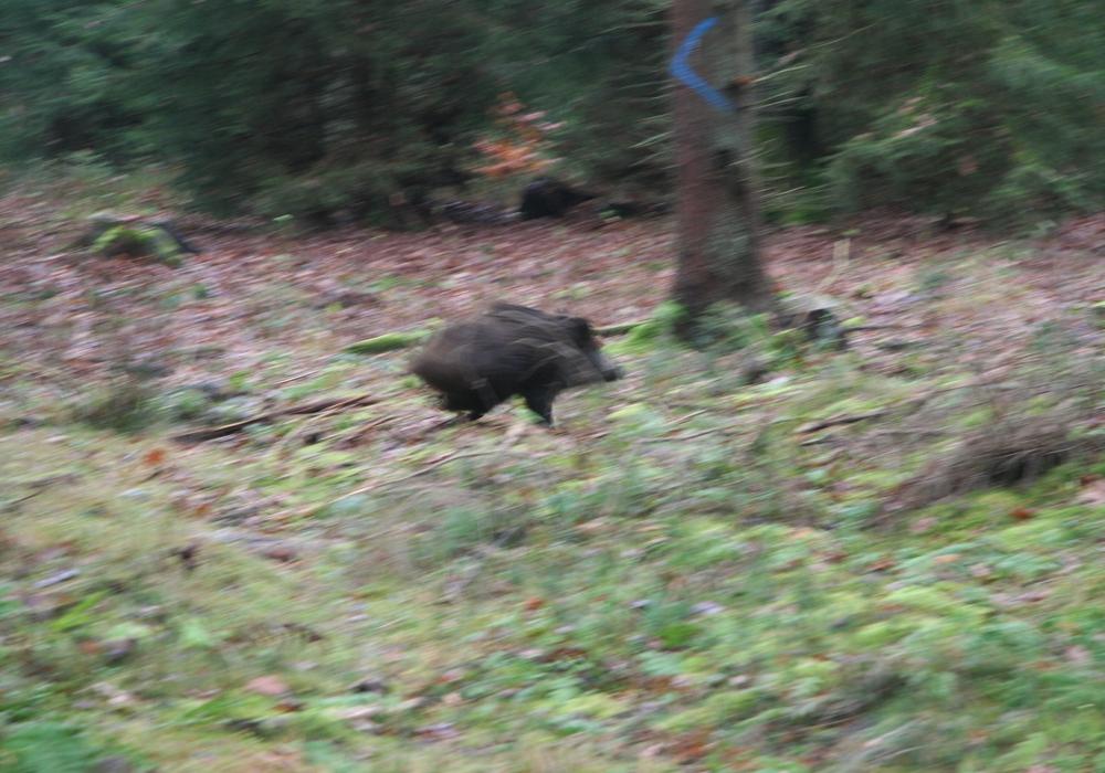 Jagd in den Wäldern zwischen Steinmühlenkamp und der Autobahn A2. Foto: Niedersächsische Landesforsten