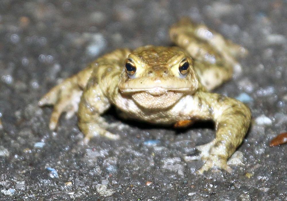 Die Amphibienwanderung steht vor der Tür. Symbolbild. Foto: Archiv