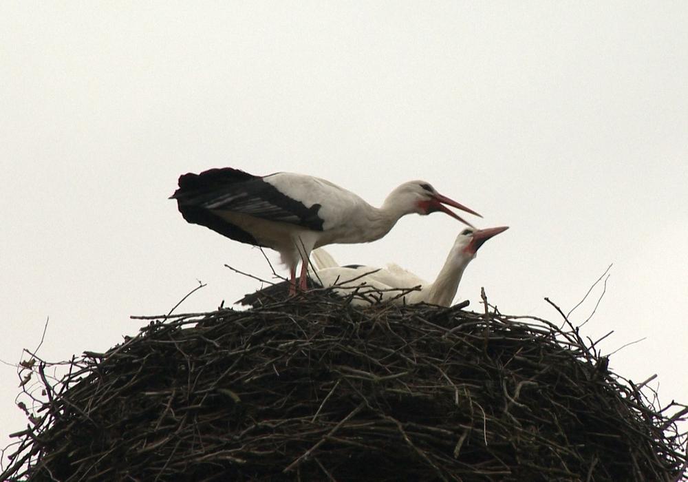 Das Storchenpaar der Region: Fridolin und Friederike noch gemeinsam in ihrem Nest. Foto: aktuell24