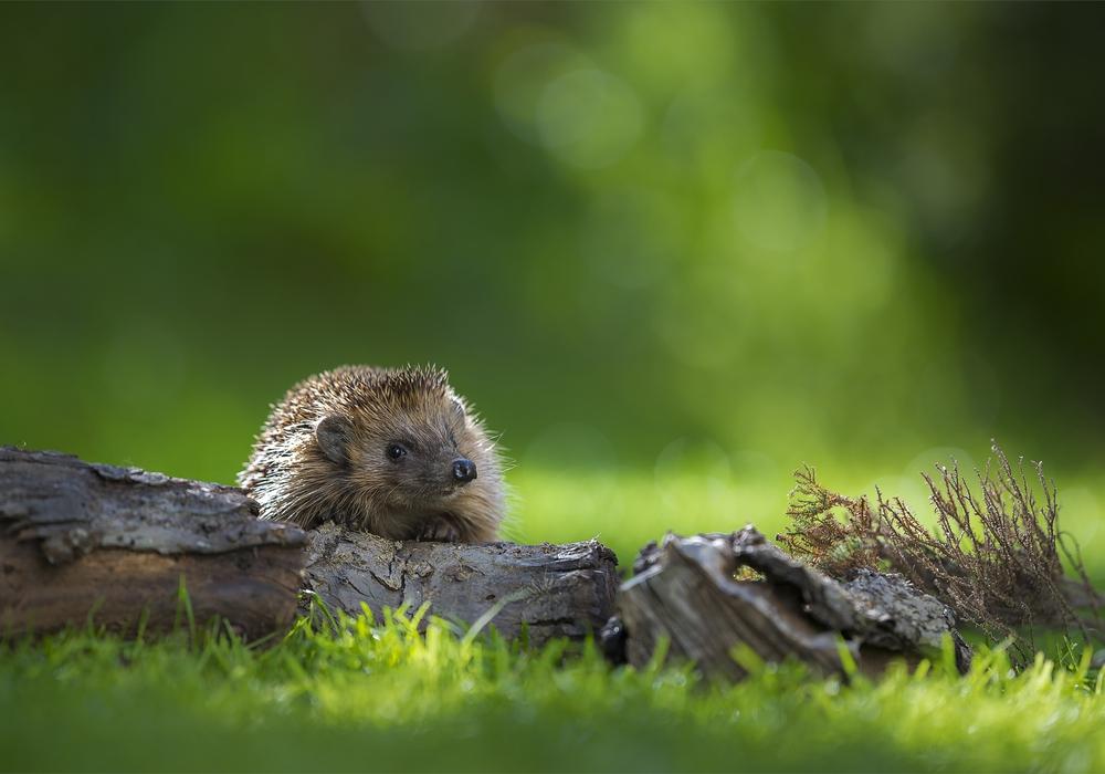Es gibt viele Mittel und Wege den kleinen Igeln das Überleben leichter zu machen. Foto: Nabu/ Andreas Bobanac