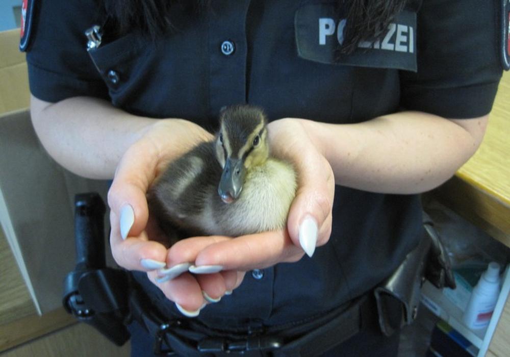 Dank einer jungen Braunschweigerin geht es einem Entenküken wieder gut. Foto: Polizei