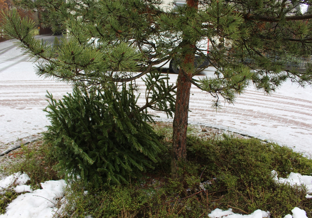 Zwischen dem 8. und 19. Januar 2018 werden die Weihnachtsbäume abgeholt. Symbolfoto: Magdalena Sydow