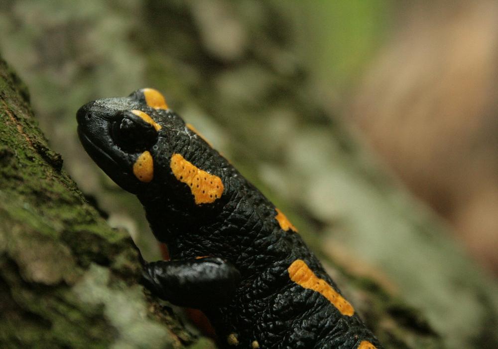 Wird das schöne Tier bald ganz aus unserer Fauna verdrängt? Symbolfoto: pixabay