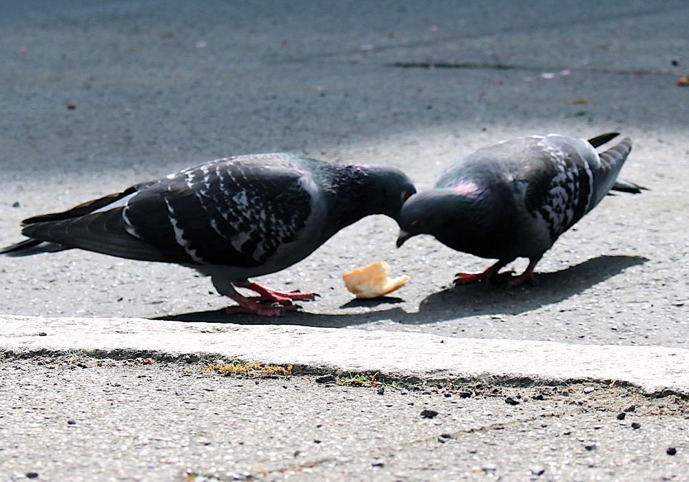 Die Taubenpopulation in Braunschweig soll besser kontrolliert werden. Foto: Archiv