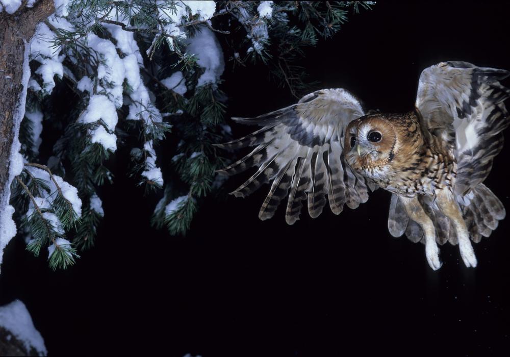 Der Waldkauz wurde zum Vogel des Jahres gewählt. Foto: Dietmar Nill, NABU