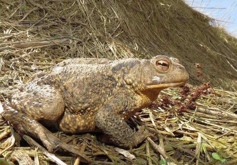 Erdkrötenweibchen – ausnahmsweise am Tag unterwegs. Foto: Walter Wimmer