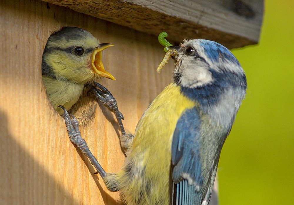 Die Vogelmutter füttert ihren Nachwuchs. Foto: NABU; Rita Priemer
